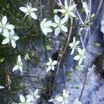 Minuartia grignensis