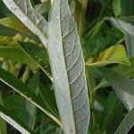 Salix humilis
