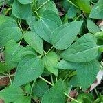 Clematis viticella Leaf