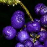 Psychotria cyanococca