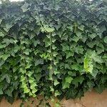 Hedera helix Leaf