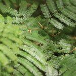 Acacia collinsii