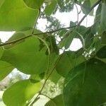 Lonchocarpus phaseolifolius