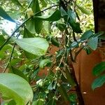 Suregada multiflora