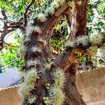 Plinia cauliflora
