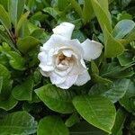 Gardenia jasminoides Kukka