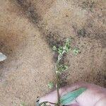 Boerhavia coccinea
