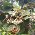 Dombeya ficulnea Flower