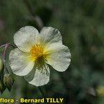 Helianthemum x sulphureum