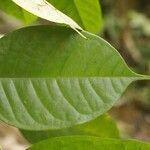 Dicorynia guianensis