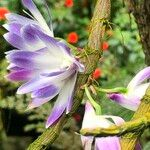 Dendrobium victoriae-reginae