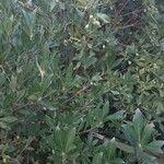 Pittosporum heterophyllum Leht