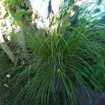 Carex elongata