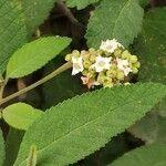 Varronia curassavica