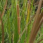 Typha domingensis