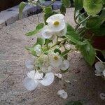 Begonia cucullata