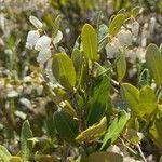 Chamaedaphne calyculata Kvet