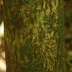Macoubea guianensis