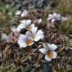 Viola pygmaea