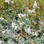Antennaria alpina