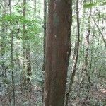 Pouteria guianensis