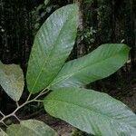 Dipterocarpus hasseltii