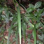 Cyperus costaricensis