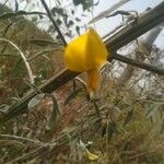 Crotalaria juncea