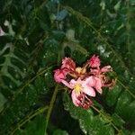 Cassia roxburghii