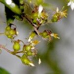 Tibouchina longifolia