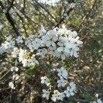 Prunus spinosa Flower
