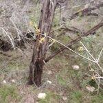 Forestiera pubescens