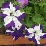 Petunia spp.