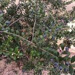 Myrtus communis Cvet