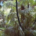 Daemonorops robusta