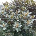 Trochetia uniflora