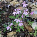 Saponaria ocymoides Flower