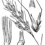 Helictotrichon setaceum