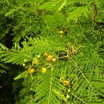 Acacia macracantha