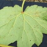 Begonia parviflora