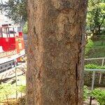 Ficus salicifolia Kôra