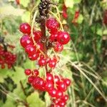 Ribes rubrum Frutto