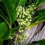 Picrella glandulosa