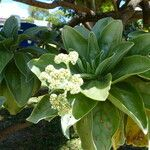 Tournefortia argentea
