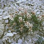 Abronia bigelovii