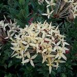 Ixora coccinea Pflanze