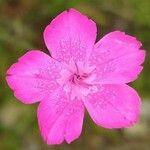 Dianthus diffusus