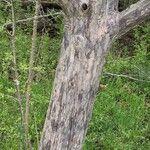 Crataegus viridis