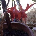 Fuchsia lycioides