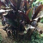 Heliconia indica